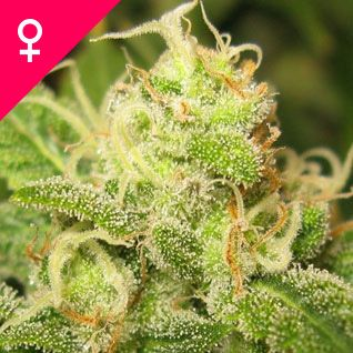 Ice Feminized Cannabis Seeds. Ice Feminized is an Indica-Sativa hybrid with a very heavy yield. Indoors, this feminized cannabis variety is a good choice for people looking for a weed type to buy that works well in both hydro and soil systems. Ice Feminized seeds can also be grown outdoors in regions with a temperate or Mediterranean climate.