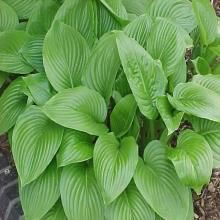 Hosta plantaginea var. japonica