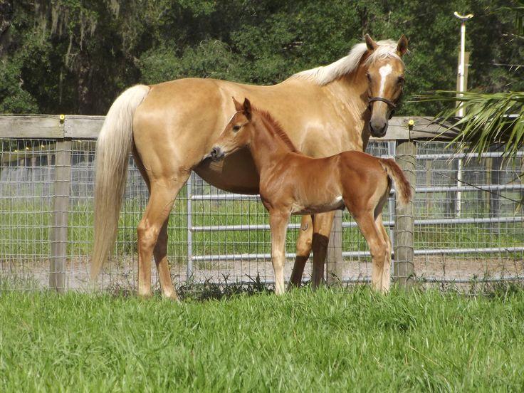 palomino foal - photo #18