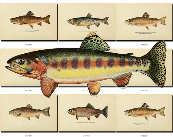 artscult.com - single JPG images from artvintage1800s.com     Instant digital download of 51 vintage pictures of fishes in high resolution (300 dpi, sizes from 1800x2800 px to 2700x3700 px). Look at pictures to see sizes in pixels (click Zoom, divide size in pixels on 300 - youll get size of print in inches with high quality, ex. 2400/300=8). Total size of the collection is 101 Mb. Each file has a name of shown fish in English or Latin (ex. Common Perch.jpg or genyatremus cavifrons (L).jpg)…