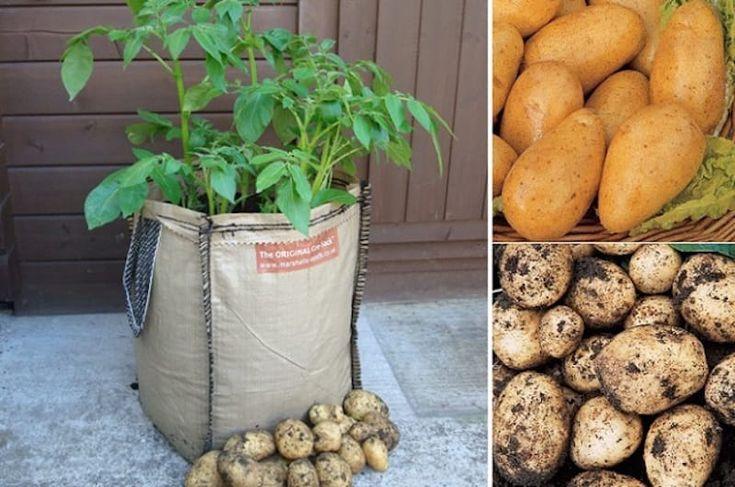 Cómo cultivar patatas en sacos.
