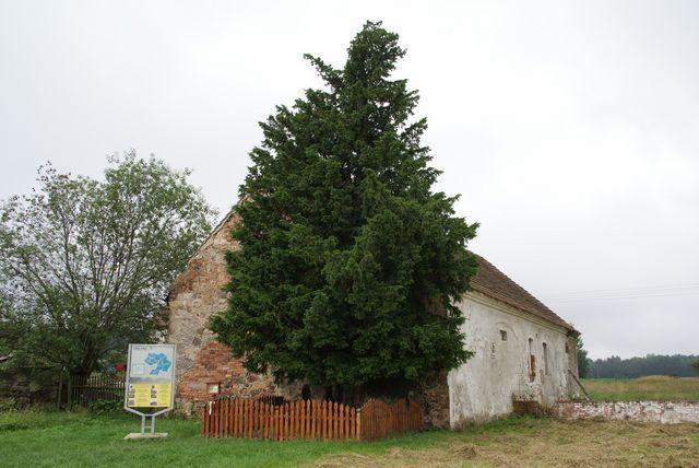 Najstarsze drzewo w Polsce - 1300 lat! Oldest tree in Poland - 1300 years!