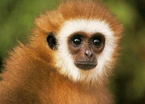 Поющие гиббоны  -  Группа из нескольких биологов университетов Лаоса и Германии обнаружили, что гиббоны рода Nomascus обладают собственной системой диалектов.  «Песни», которые издают гиббоны во время общения, значительно отличаются от всех звуков, которыми обмениваются другие приматы. Они больше напоминают пение птиц из тропического леса.