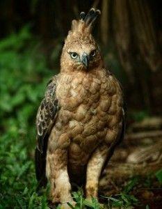 burung elang jawa Spizaetus Bartelsi - hewan langka di indonesia jawa barat