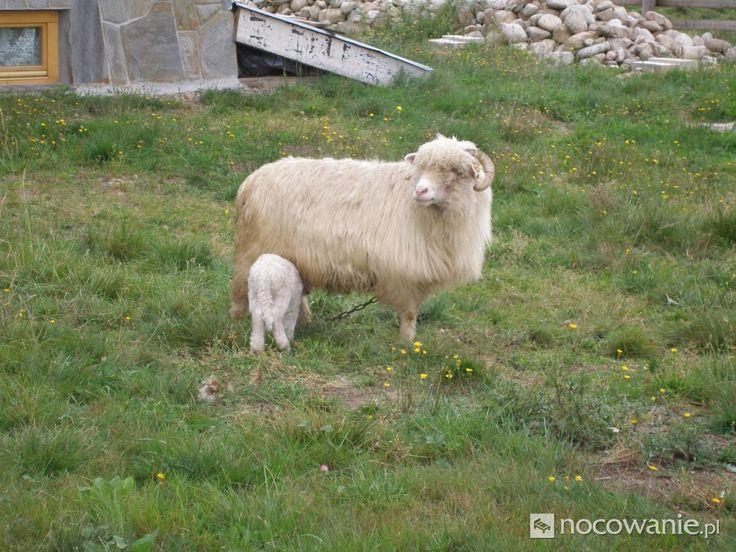 Owce, Ola #Polska #Poland #sheep