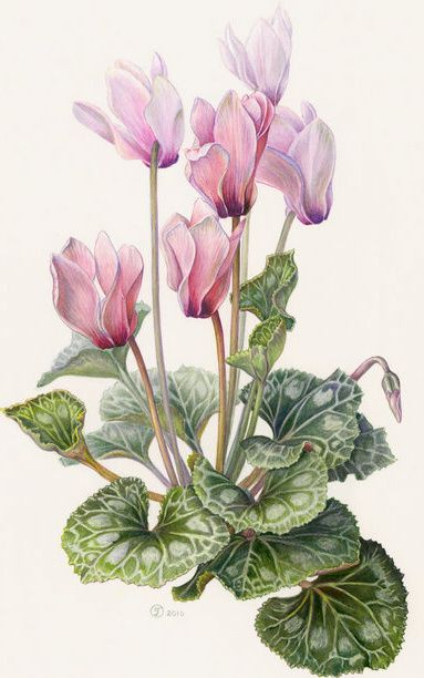 Delicate cyclamen #botanical #illustration