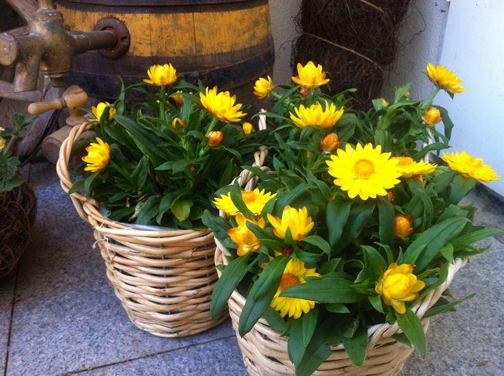 Strohblumen Trocknen 14 besten trockenblumen bilder auf garten html und
