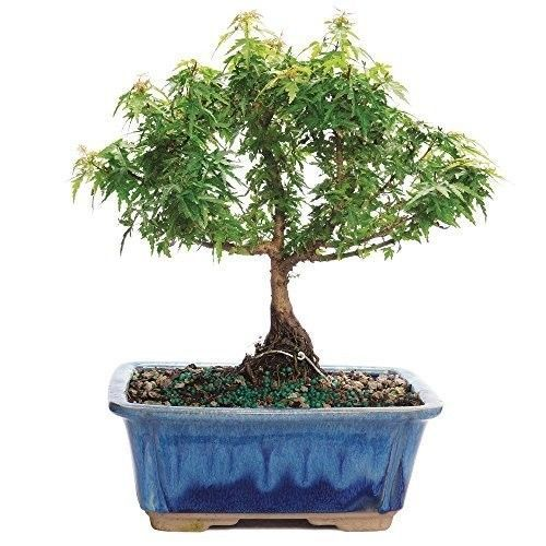 Bonsai Tree Kotohime Maple Japanese Plant Hooseplan Small Leaf 3 Years Leaves #BonsaiTreeKotohimeMaple