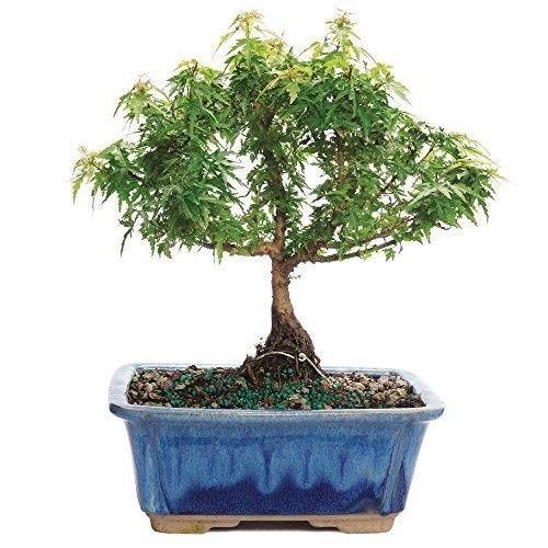 Bonsai Tree Kotohime Maple Japanese Plant Hooseplan Small Leaf 3 Years Leaves #BonsaiTreeKotohimeMaple