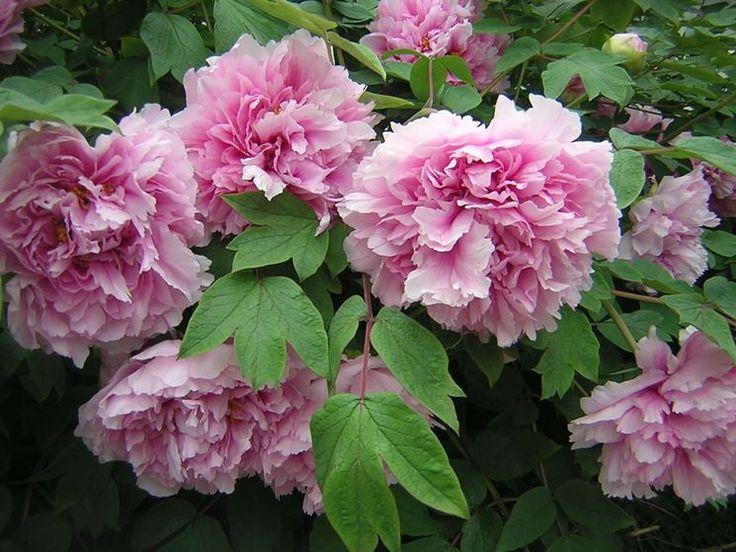 Fiori di peonie rosa