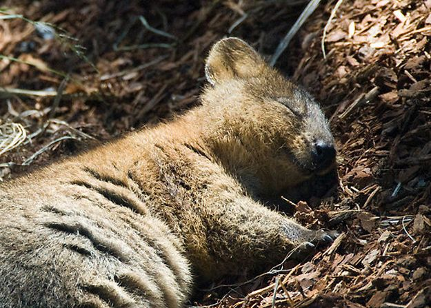 Sleeping Quokka. The quokka /ˈkwɒkə/ (Setonix brachyurus), the only member of the genus Setonix, is a small macropod about the size of a domestic cat.