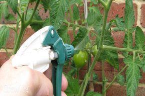 Élesztős oldattal öntözd a paradicsomot, és az uborkát! Hogy miért? Egész nyáron hálás leszel ezért a módszerért!