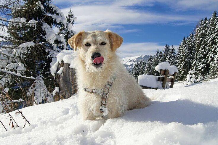 Winterurlaubsangebot für Hund und Mensch im Hotel Magdalena im Tiroler Zillertal - inkl. Wellness, Winterwanderungen mit Hund und Verwöhnpension.    #wandernmi#zillertal #tirol #hundeurlaub #hunde #schnee #ferien #ferienmithund #dogs #holidayswithpets #hotelmagdalena #tirol #urlaubinoesterreich #oesterreich #austria #ferieninoesterreich #urlaubintirol #tirolurlaub #hundeurlaub #hotelsmithund #winter #skifahren #schifahren #berge #wandernmithund #wellnesshotel #hundehotel #hundehotels…
