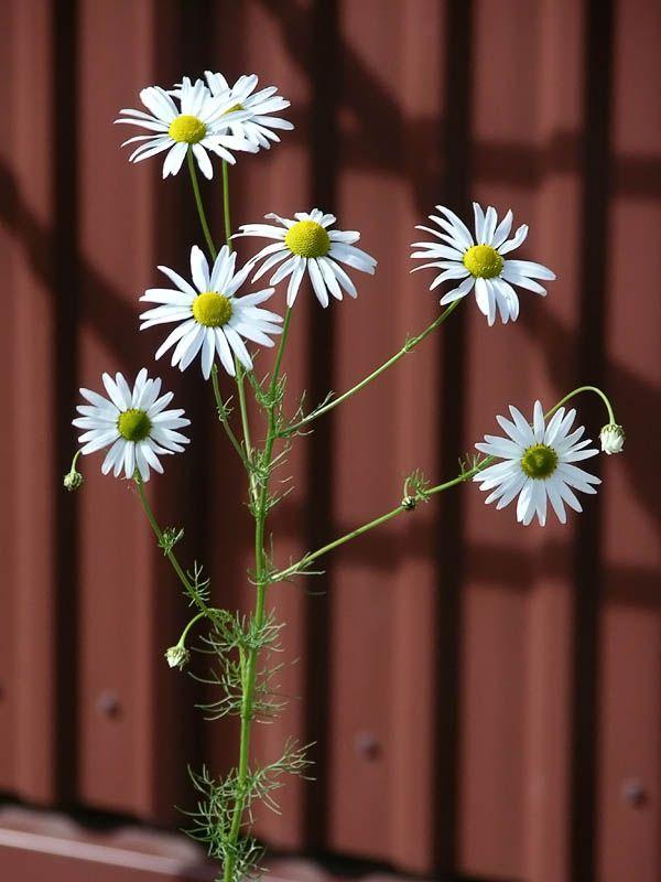 Baldersbrå, Tripleurospermum maritimum ssp. inodorum - Blomväxter - NatureGate