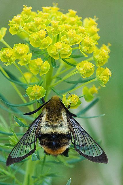 Hemaris tityus--Narrow-bordered Bee Hawk-moth: A moth, not a bee