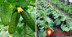 Na Marka uhorka do jarka: 10 cenných rád, s ktorými dopestujete bohatú úrodu a uhorky nezhorknú!