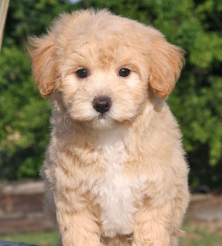 Maltipoo Puppies 4 Sale| Apricot Puppy| Dog Breeders Iowa USA