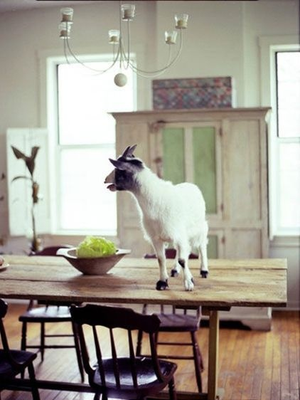 Pygmy goat inside on the dining room table of a suburban home.  Why not?