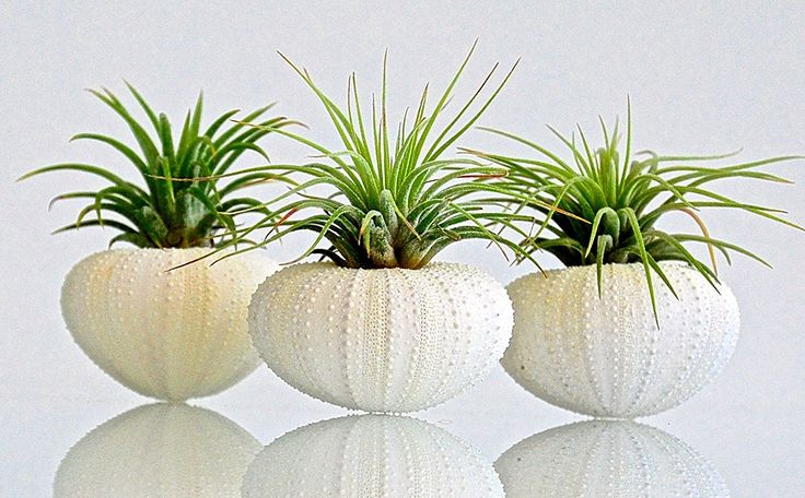 AIR PLANT KIT - Includes: 3 Tillandsia LIVE AIR PLANTS   3 Almost WHITE Sea Urchin Shells (Albino Purple)   GIFT BOX Genuine Sea Shell PLANTERS. TERRARIUM (Same Variety Air Plants) *** Check out this great product. (This is an affiliate link and I receive a commission for the sales)