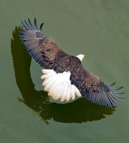 Eagle Flying Low Over Water