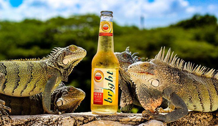 Curacao iguanas sipping a beer #curacao #iguana