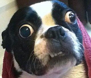 Boston Terrier officially has the largest eyes in the world!