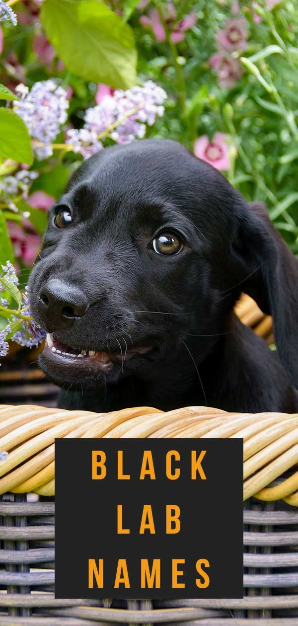 Black Lab Names 400 Perfect Ideas For Your Pup Black Lab Names