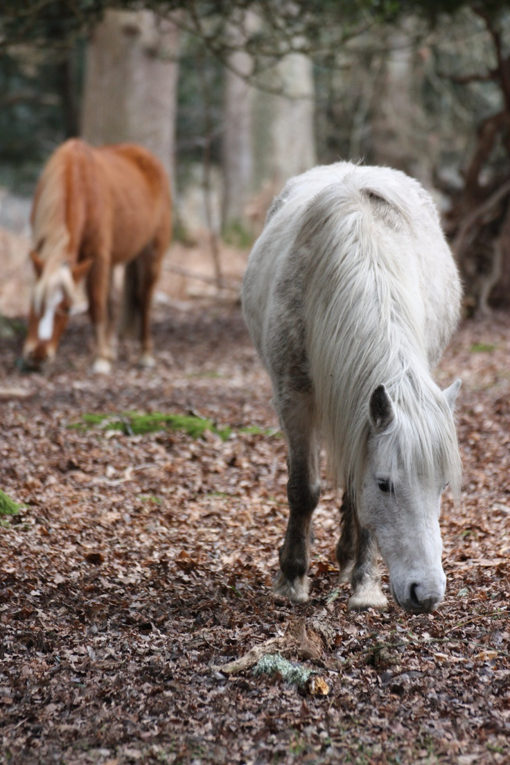wild horses in New Forest