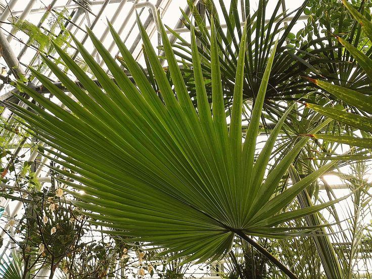 Washingtonia filifera  Arecaceae Presidentinpalmu Usan lounaisosat