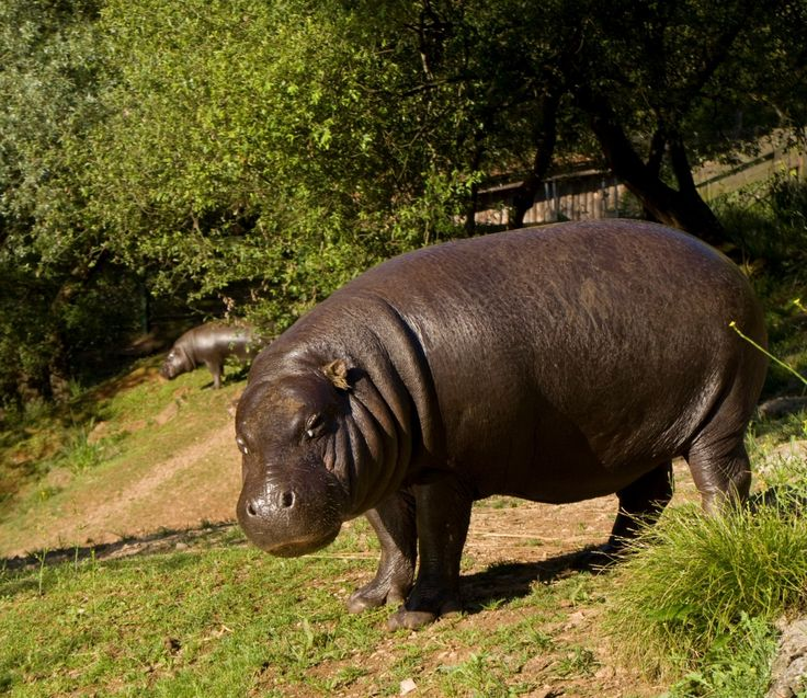 El HIPOPOTAMO ENANO o Pigmeo vive en la húmeda selva ecuatorial africana, donde…