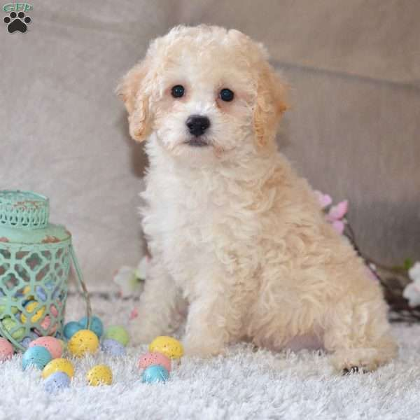 Mason Cavapoo Puppy For Sale In Ohio Cavapoo Puppies Cavapoo