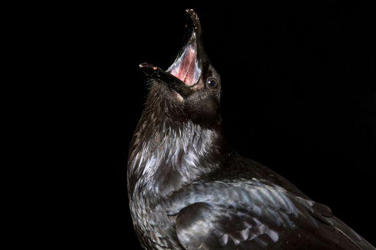 Crow. Photo by Joel Sartore, National Geographic Creative