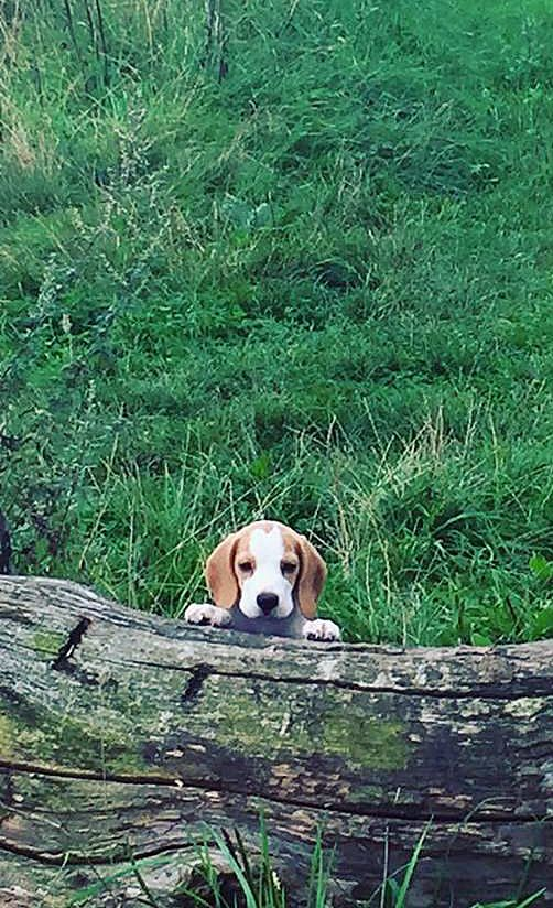 Peekaboo We See You This Is Super Ted A Gorgeous Beagle Puppy