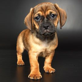 Called a shortie or a daug!! my favourite! Pug + Dachshund   new Breeds - Justpuppies.net