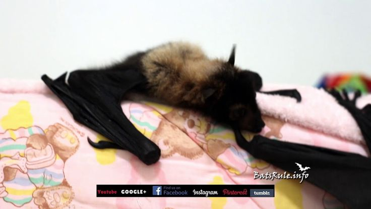 Rehab   Cairns Qld Megabat babies Spectacled in care