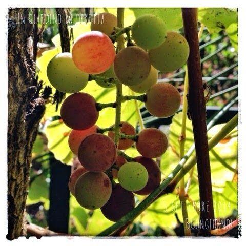 In diretta dal giardino:uva fragola (Vitis labrusca)  Buongiorno giardinieri! #giardino #giardinoindiretta #frutti