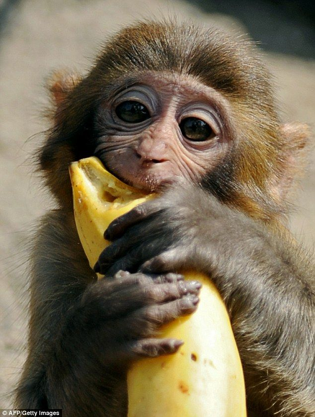 The monkey was fed bananas and other treats once it was checked by a vet - and police say ...