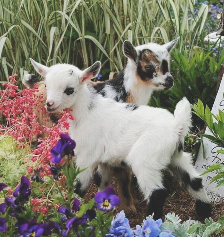 Kleine Ziegen im Frühling 🌸