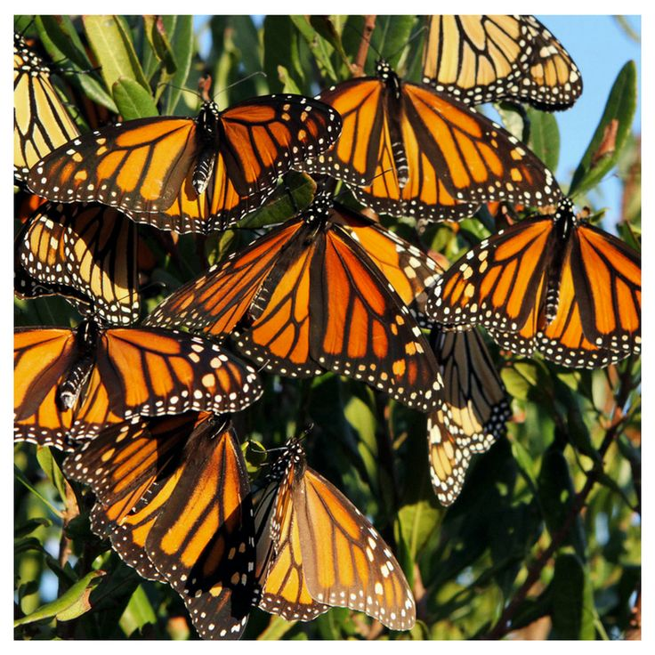 Monarchs mysteriously arrive at the same remote overwintering grounds season after season. Strangely, no migrating monarch has ever been to the wintering grounds before. If there are maps from ancestors in their genetic coding, imagine what this could mean for your butterfly garden when they migrate north in spring? Photo Cred - Dale Gerhard