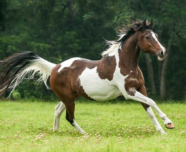 National Show Horse tobiano mare. A new breed registry consisting of crossing Arabian with saddlebred. photo: Mark Barrett.