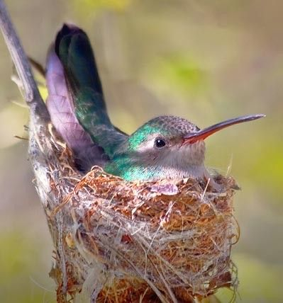 Pinner writes: Humming Bird in Nest - just found one in one of our maple trees....incredibly small and soft