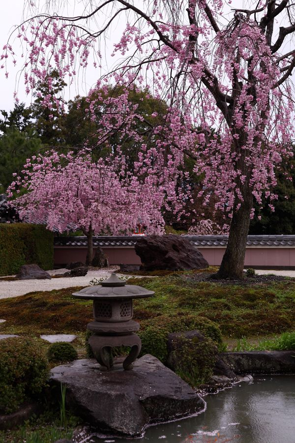 weeping cherry trees at shoho ji temple kyoto japan