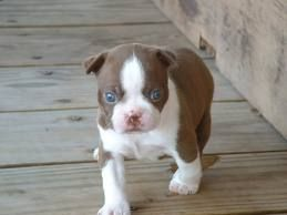 "get a ""red"" boston terrior and name his weasley"