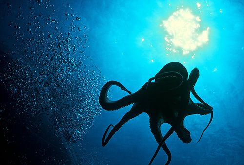 giant swimming octopus
