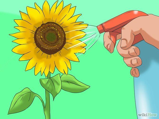 3 Ways to Grow Sunflowers