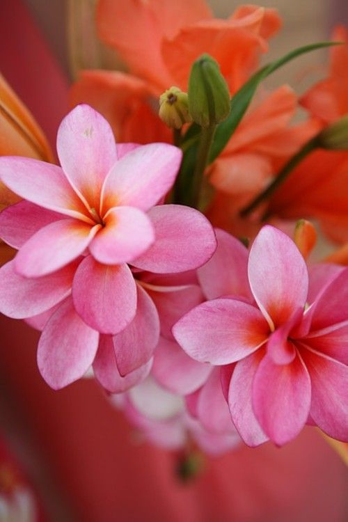 Pink Plumeria Plumeria Common Name Frangipani Is A