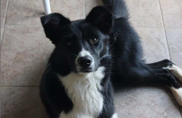 I think this is what Ellie is going to look like when she's older. Border collie husky mix