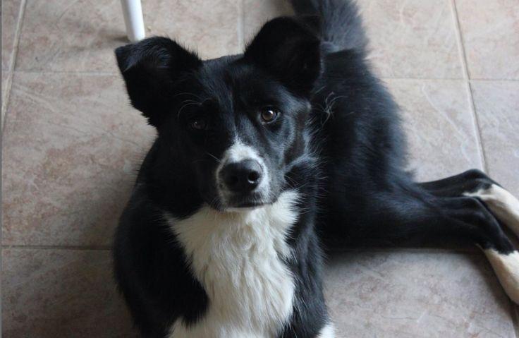 66 best Border collie cross with husky images on Pinterest ...  Husky