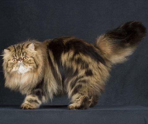 Silver Tabby Persian Cat Persian breed, tabby color