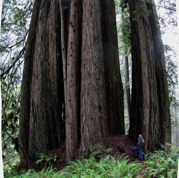 Titanic Redwood. Prairie Creek Redwoods State Park. Sequoia ...